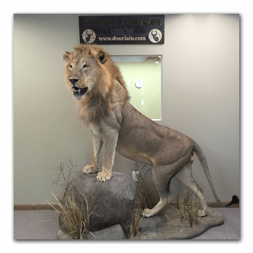 Lion-Taxidermy