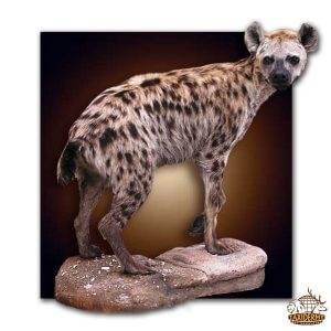 hyena taxidermy